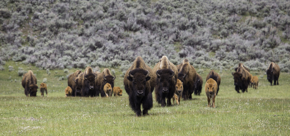 a herd of bisons in the field
